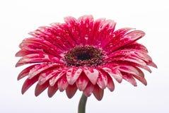 вода макроса цветка капек Стоковые Фотографии RF