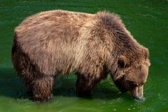 вода медведя коричневая Портрет beringianus arctos Ursus бурого медведя стоковые изображения rf