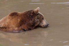 вода медведя коричневая стоковые изображения