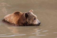 вода медведя коричневая стоковое изображение rf