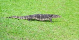 вода монитора зеленой ящерицы травы backgroun Стоковая Фотография