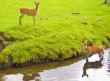 вода оленей Стоковые Фото