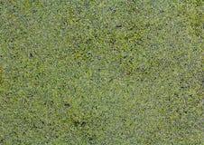 Вода перерастанная с duckweed Стоковые Фотографии RF