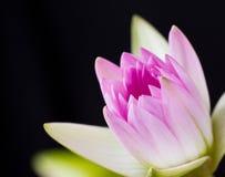 вода пинка лилии предпосылки черная Стоковые Изображения