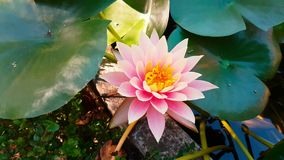 вода пинка лилии цветка сток-видео