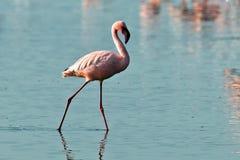 вода прогулок пинка фламингоов Стоковая Фотография RF