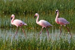 вода прогулок пинка фламингоов Стоковое фото RF