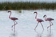 вода прогулок пинка фламингоов Стоковые Изображения