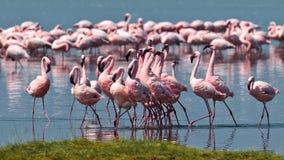 вода прогулок пинка фламингоов Стоковая Фотография