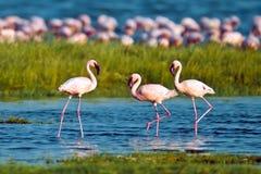 вода прогулок пинка фламингоов Стоковое Изображение RF