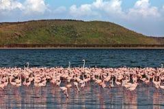 вода прогулок пинка фламингоов Стоковое Изображение