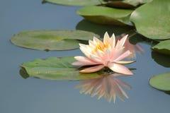 вода пруда лилии розовая стоковое изображение