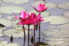вода пруда лилии розовая стоковое фото rf