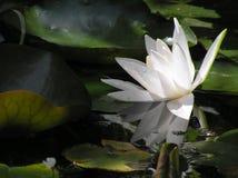 вода пруда лилии Стоковая Фотография RF