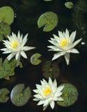 вода пруда лилий Стоковые Изображения