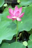 вода пруда лотоса лилий Стоковые Изображения RF