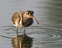 вода птицы одичалая Стоковое Изображение