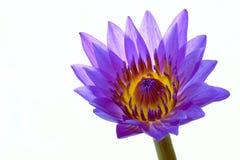 вода пурпура лилии цветка Стоковая Фотография