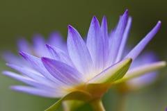 вода пурпура лилии Стоковая Фотография RF