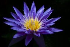 вода пурпура лилии Стоковое Фото