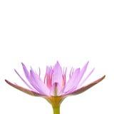 вода пурпура лилии Стоковая Фотография