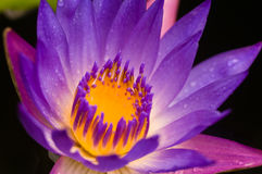 вода пурпура лилии Стоковое фото RF