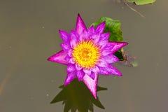вода пурпура лилии Стоковое Изображение RF