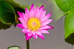 вода пурпура лилии Стоковые Изображения RF