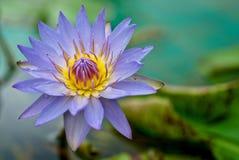 вода пурпура лилии Стоковые Фотографии RF