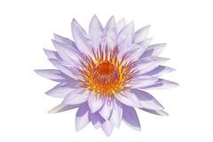 вода пурпура лилии Стоковые Фото