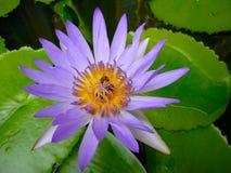 вода пурпура лилии Стоковые Изображения