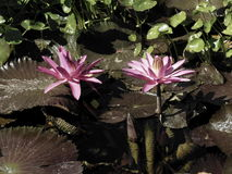 вода пурпура пруда лилий Стоковое Изображение