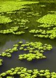 вода салата Стоковые Фотографии RF