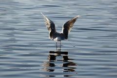 вода середины чайки Стоковое Фото