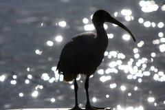 вода силуэта ibis птицы Стоковое Фото