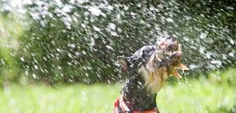 вода собаки Стоковая Фотография RF