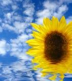 вода солнцецвета Стоковая Фотография RF