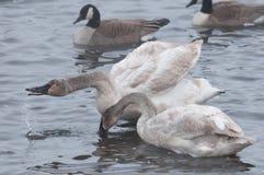 вода трубача лебедей пар dro preening стоковое изображение