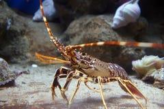 вода утеса омара тропическая нижняя Стоковые Фото