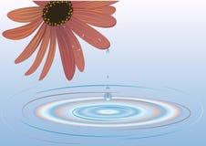 вода цветка Стоковая Фотография