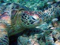 вода черепахи Малайзии Стоковое Изображение