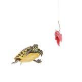 вода черепахи мяса удя крюка Стоковая Фотография
