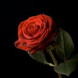 вода черных падений предпосылки красная розовая Стоковые Фотографии RF