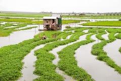 вода шпината 01 фермы Стоковые Изображения RF