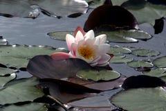вода 2 лилий Стоковые Фотографии RF