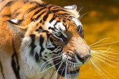 вода 2 тигров Стоковое фото RF