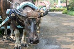 Вода Buffalobeast Carrabao тяготы в Филиппинах Стоковое Фото