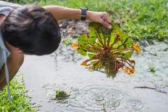 Вода Caltrop Стоковые Изображения