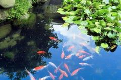 вода koi рыб красивейшего вырезуба китайская Стоковое Изображение RF