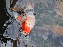 вода koi 2 рыб вырезуба китайская цветастая Стоковая Фотография RF